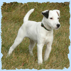 Parson Russell Terriers White Parson Russell Terrier